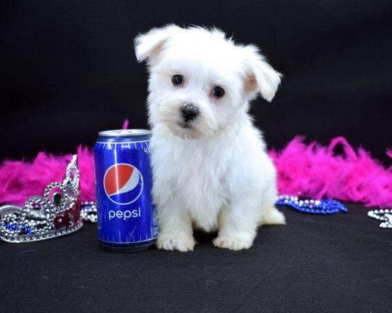 Alexia Maltese Puppy Puppyspot Maltese Puppy Maltese Puppies