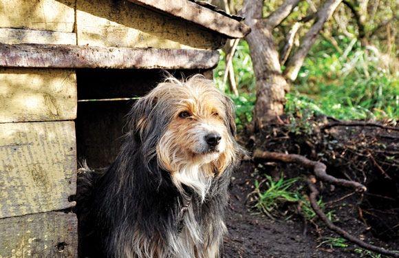 #Datoanimal Aunque no están reconocidas oficialmente, Chile cuenta con dos razas de #perros nacionales: terrier chileno y el ovejero magállanico #VetsMexico
