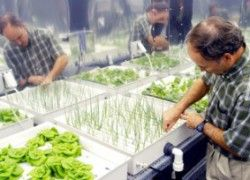 how to get lettuce crunchy hydroponic