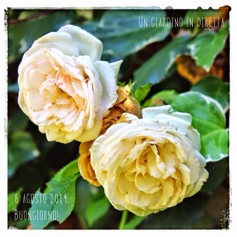 in diretta dal giardino: Rosa Mon Jardin et Ma Maison  Buongiorno giardinieri! #giardino #giardinoindiretta #fiori #rose