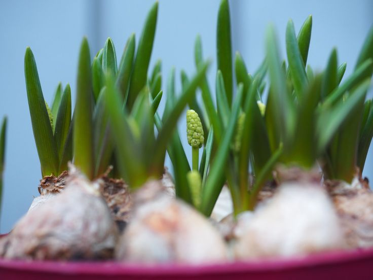 16 vårblomster å sette ut i krukker nå. Dette ser jeg etter og tar hensyn til når jeg handler.