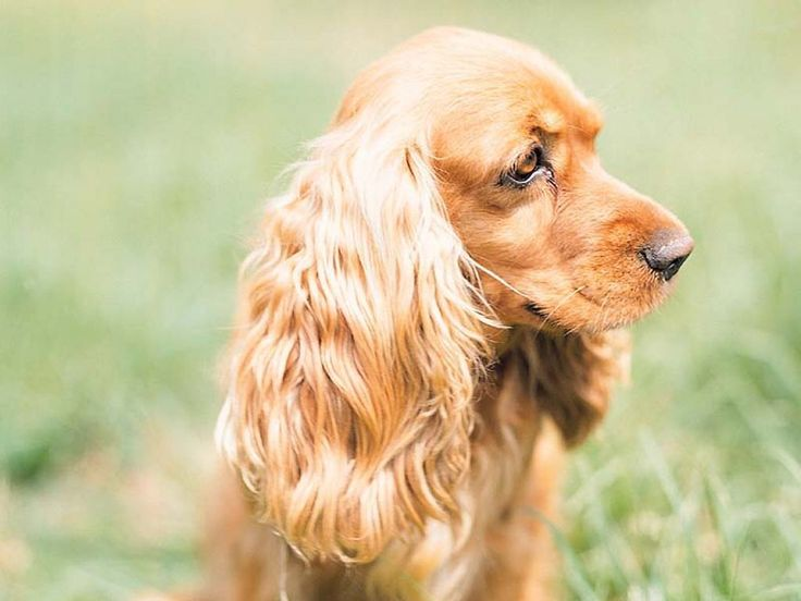 17 Best images about Cocker Spaniels on Pinterest ... Cocker Spaniel 60 Days Pregnant