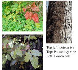 poison ivy poison oak remedy