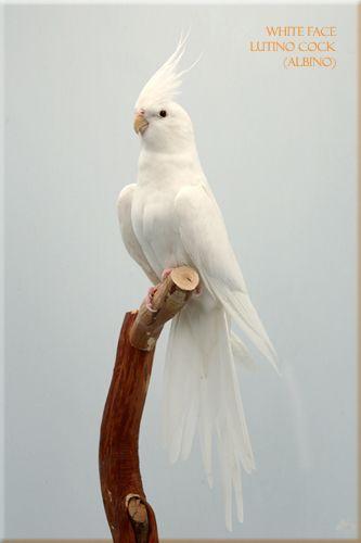 White Faced Lutino Cockatiel I want | Passaros exoticos ...