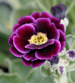 Old Fashioned Purple Auricula
