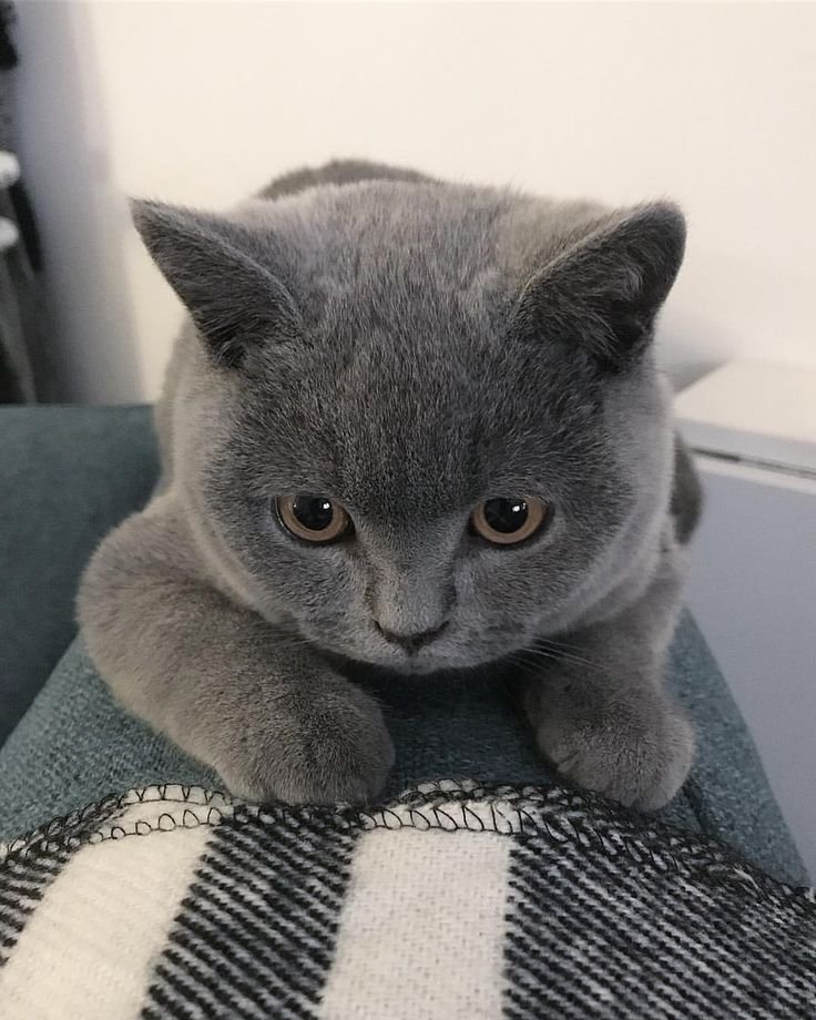"""536 Likes, 11 Comments - Maki - My British Blue (@maki_the_catteh) on Instagram: """"CUTE! """""""