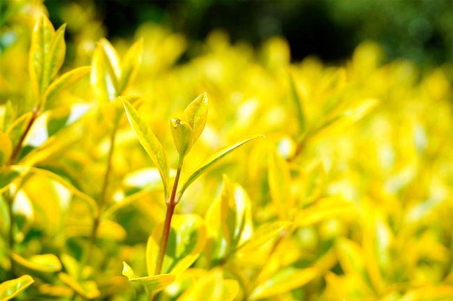 プリペットオーレア 品種の特徴や剪定・肥料・育て方 庭木専門店の苗木販売 花ひろばオンライン
