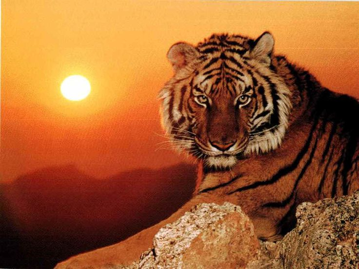 Tigres - Ask.com Image Search
