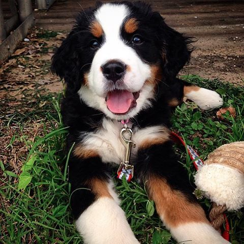 """This is Harper! She's a 15 week Bernese Mountain Dog living in St. Louis.  She's as sweet as they come.  Her favorite place to be is outside sniffing the air and looking for adventure! She loves meeting new human, doggy and kitty friends!"" writes @HanginWithHarper.  #dogsofinstagram #dogs #dog"