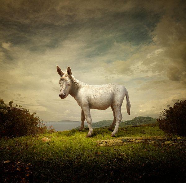 White donkey retouching - by Michele Secchi, Itailian
