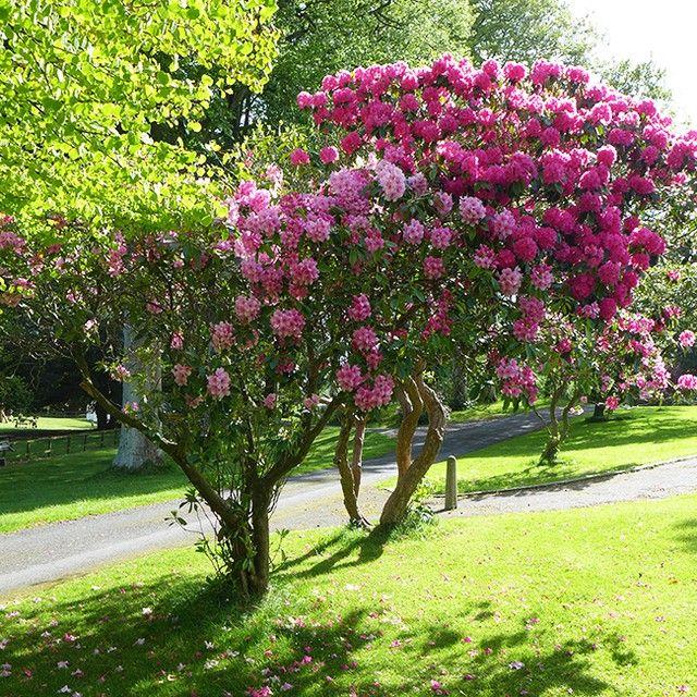 Les rhododendrons sont en fleurs dans le Parc forestier de #Tollymore en #Irlande du Nord #alainntours