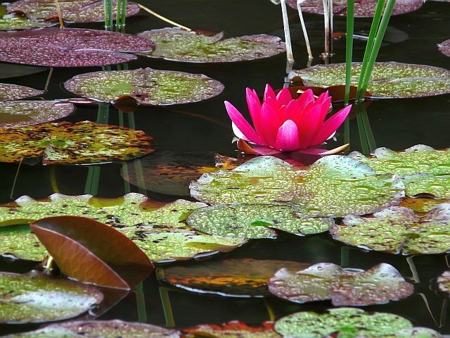 Water Lily / Lily pond in Reit im Winkl (Bavaria)