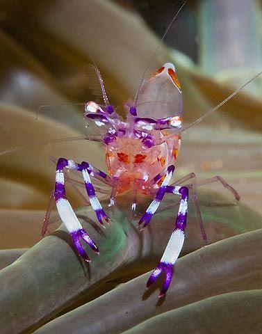 Anemone Shrimp, purple and white banded legs, pinkish body. From Anilao, Batangas, Philippines.