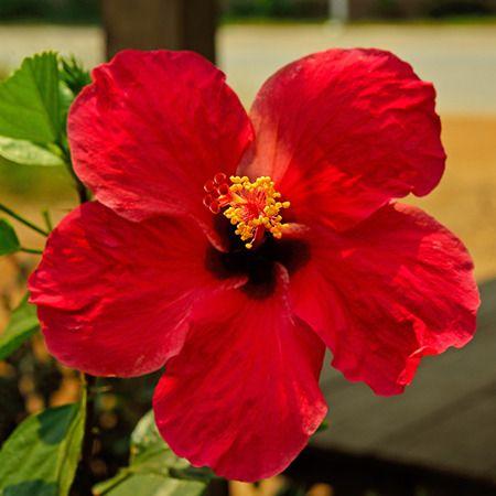 Les 25 meilleures images du tableau hibiscus sur pinterest for Plante lumineuse