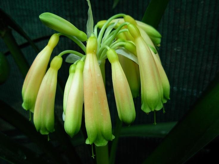 Gardenii Blush