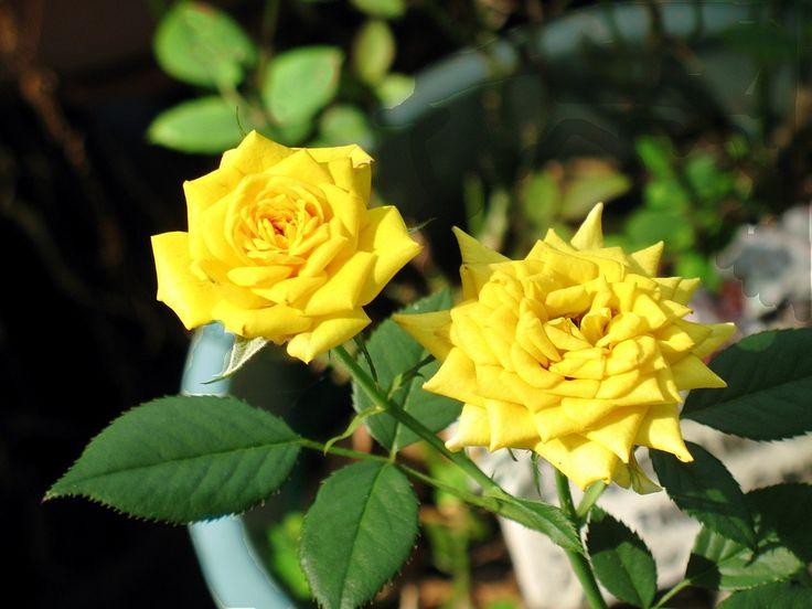 Как вырастить розу дома: все секреты от опытных цветоводов http://happymodern.ru/kak-vyrastit-rozu-foto/ Желтые розы, выращенные дома Смотри больше http://happymodern.ru/kak-vyrastit-rozu-foto/
