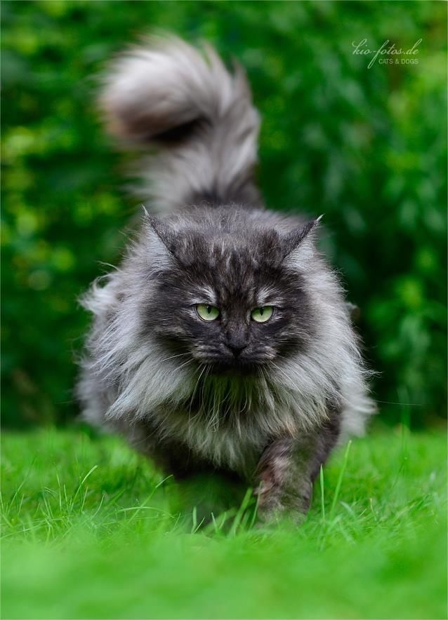Of all God's creatures there is only one that cannot be made the slave of the lash. That one is the cat. If man could be crossed with the cat it would improve man, but it would deteriorate the cat : Mark Twain's Notebook, 1935