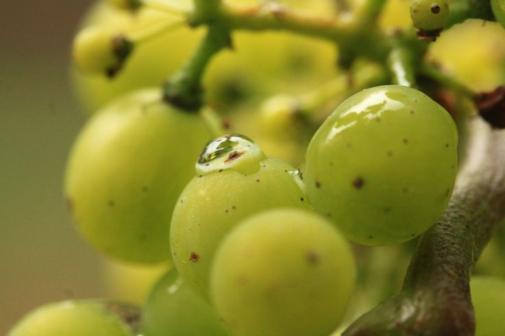 Clone 95 Chardonnay grapes shot with Canon 60mm Macro lens by Helena Maria Mantel. At Harvest Estate's St Martin Vineyard in Martinborough, New Zealand.