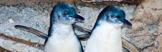 Pequeño pingüino azul (Eudyptula minor)