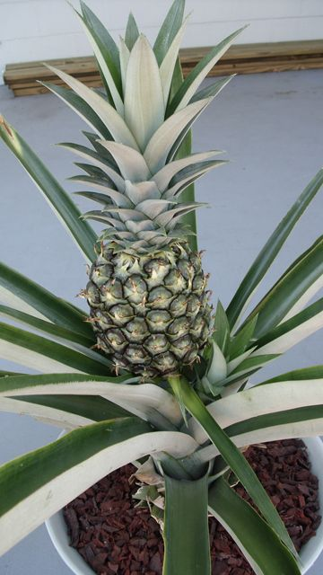how to grow a pineapple from its top