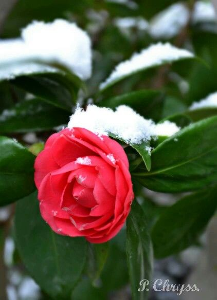 #Camelia in #snow, #February 11, 2015, #Maroussi, #Greece
