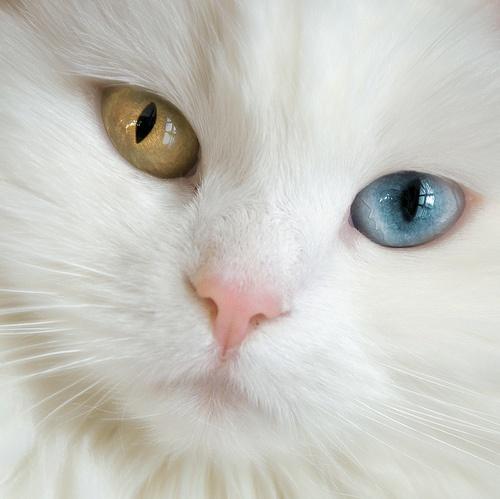 fastening: Kitty Cat, Cat Eye, Eye Color, Brown Eye, Kitty Kat, Blue Eye, David Bowie, Green Eye, Baby Cat