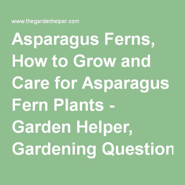 asparagus ferns how to grow and care for asparagus fern plants garden helper gardening. Black Bedroom Furniture Sets. Home Design Ideas
