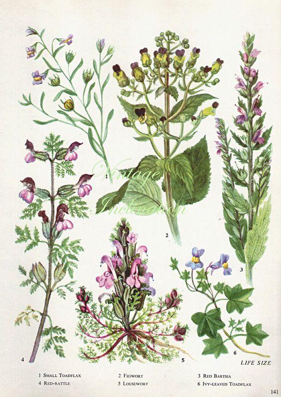 HERBS FIG WORT herbs Vintage Botanical Print Antique, plant print 141 botanical print, bookplate art print, herb plants plant wall print