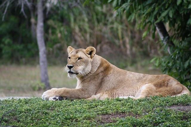 Lion Miami Metro Zoo