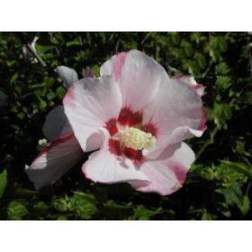 Hibiscus syriacus 'Mathilda' - Hibiskus / Garteneibisch 'Mathilda' jetzt günstig in Ihrem MEIN SCHÖNER GARTEN - Gartencenter schnell und bequem online bestellen.