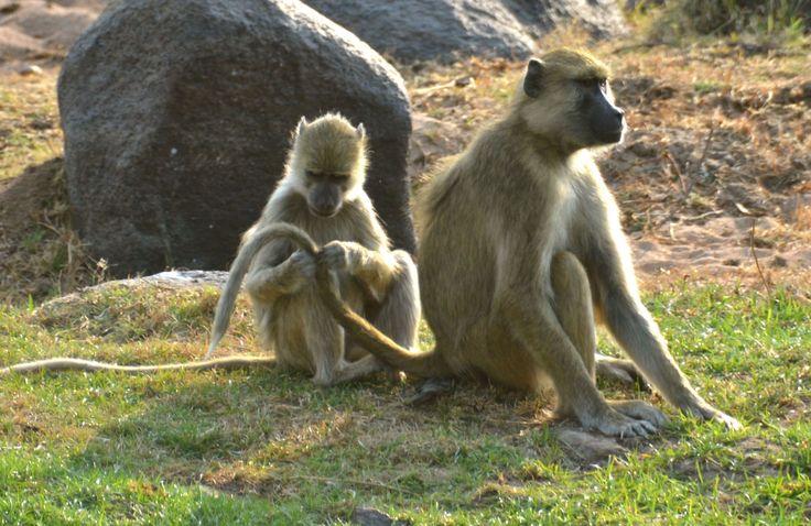 Yellow baboons grooming in Ruaha, Tanzania. #YellowBaboon #GulBavian #RuahaNationalPark #TrekkingBureauet #HenryRasmussen