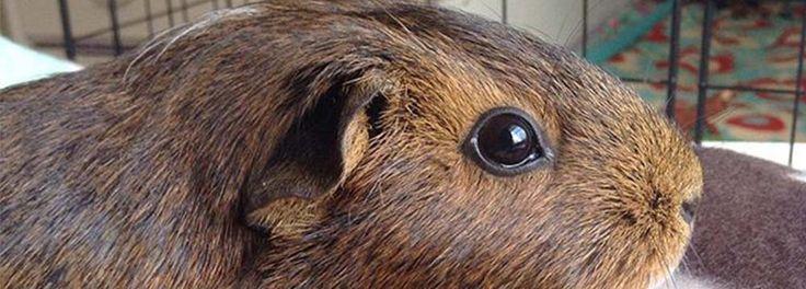 American Short Hair Guinea Pigs | Peruvian Guinea Pig vs. American Guinea Pig…What's the Difference?