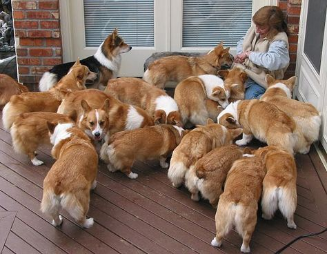 So many corgis! This is my happy place.
