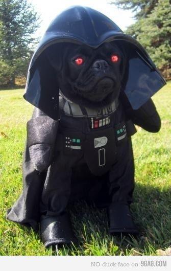 Luke I Am Your Pug