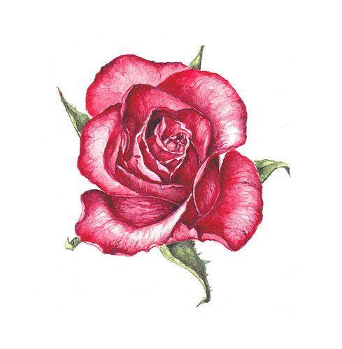 roze , flower , illustration , cute