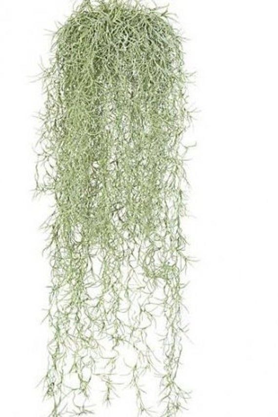 6 Gallons Live Spanish Moss Please Read Description Etsy In 2021 Spanish Moss Moss Decor Artificial Plant Wall