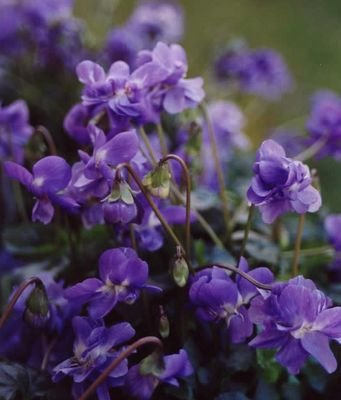 Parma Violets - I just fell in love with a plant I may never actually see or smell, ever. :(