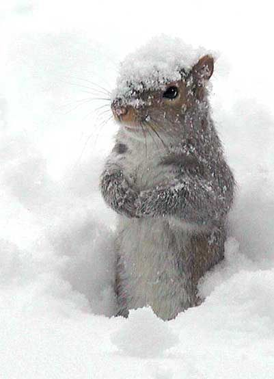 Snow Covered Squirrel - Too Cute !