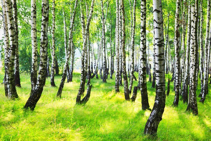 Na konci dubna je vhodné sbírat Břízu. Míza, kůra a listy březového stromu jsou používány po stovky let k vyléčení různých onemocnění - www.ČeskoZdravě.cz