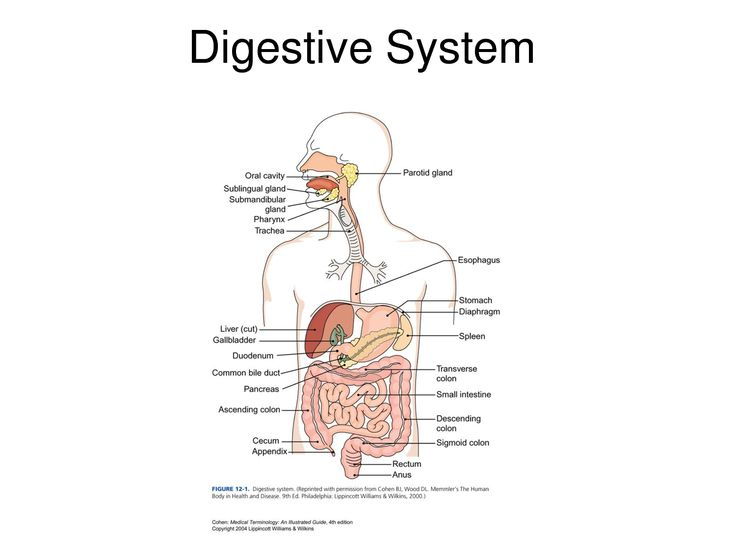 Human Digestive System Labeled Health Medicine And