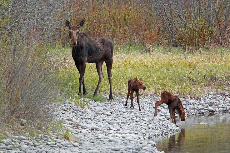 Moose Twins, Jackson Hole, Wyoming