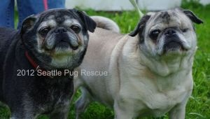 TALULAH 10yrs Fem & OLIVER11yrs Male~ Pugs, Spayed/NeuteredUTD shots BELLEVUE, WA~Seattle Pug Rescue's Seniors for Seniors places pugs 8 or older with people 60 or more at a reduced fee. Talulah & Oliver are siblings. They're friendly, sweet, love a comfy lap & a good meal. Oliver is food aggressive, Tallulah is possesive of Oliver. Both seem to be hard of hearing or selective about what they hear. Seattle Pug Rescue,253-655-PUGS EMAIL: rescue@seattlepugs.com   PERFECT TWO-FER ADOPT TODAY!