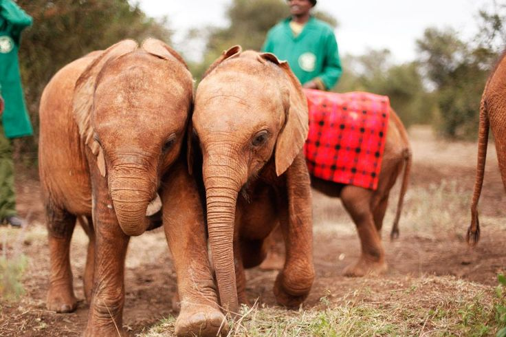 Raising money for these adorable babies at the David Sheldrick Wildlife Trust in Kenya on Sunday night. We're having a fundraising dinner at Ripples Chowder Bay. More info here: www.animalworks.com.au/news