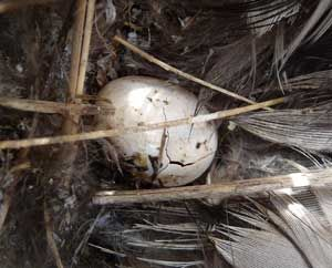 How to clean out nests.  This site also has a LOT of bluebird info!  Broken egg in nest. Zimmerman photo.