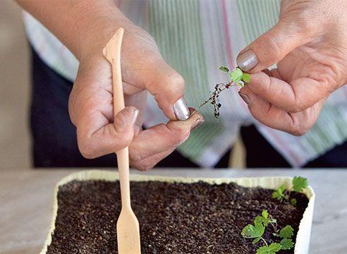 Земляника из семян. Подготовка сеянца к пикировке