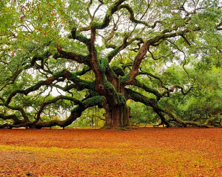 Angel Oak, 1,500 years old - John's Island, Charleston, South Carolina.