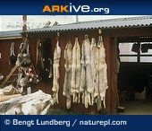 Arkive image - Eurasian wolf pelts and products