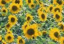 The Best Time to Plant Sunflower Seeds | Home Guides | SF Gate