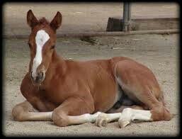 Baby quarter horse