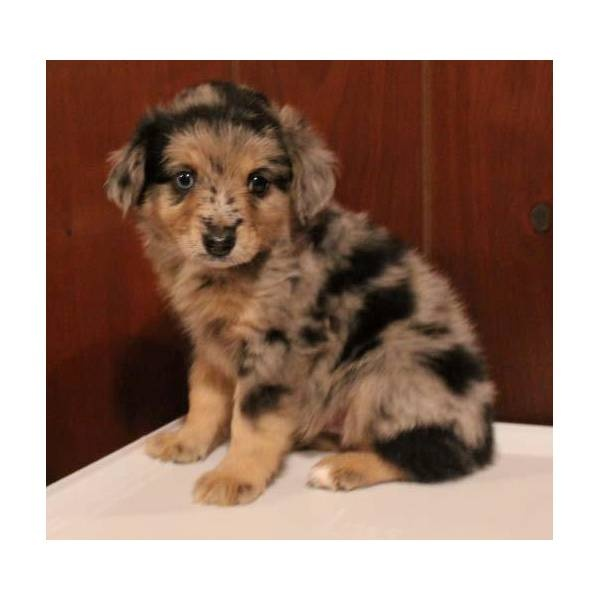 Miniature Aussie -- just like my childhood dog Buster!